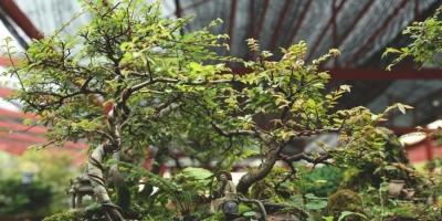 nota-exposicion-de-bonsai-20-03-2019.jpg