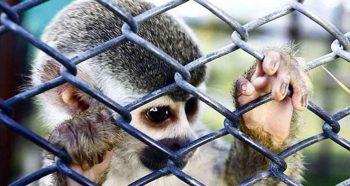 Animales Silvestres Como Mascotas.