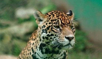 noticia-jaguar.-28-08-2017..jpg
