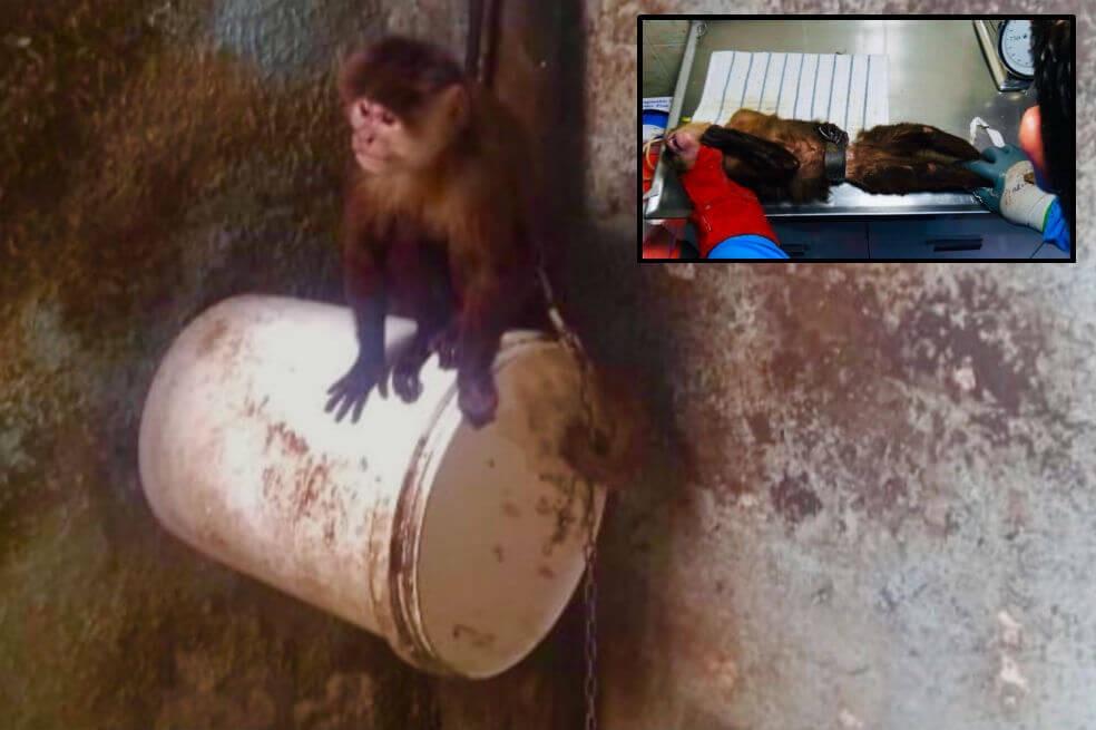 Mono Capuchino Rescatado.