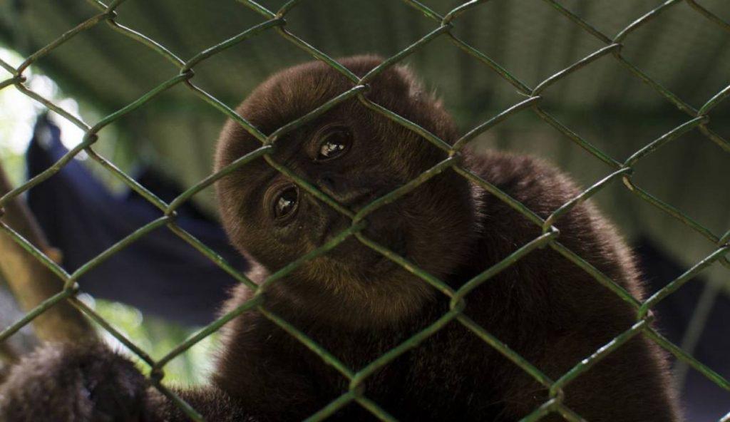 Monos Churucos.